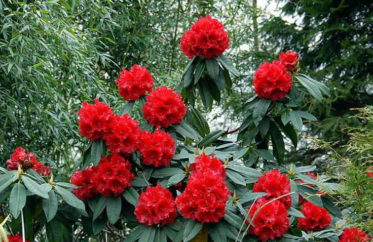 rhododendron_grace_seabrook